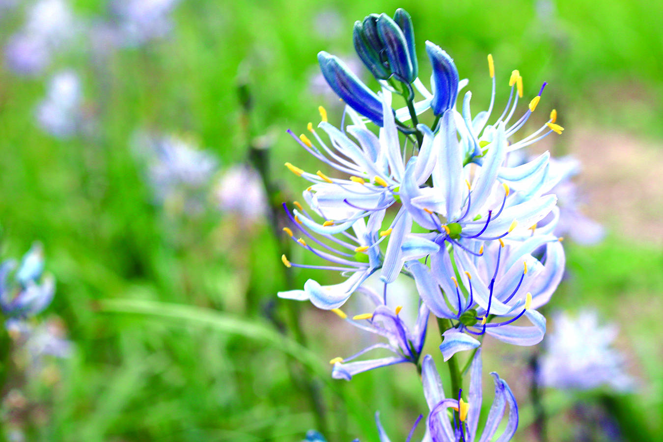 The camas plants are blooming in Beacon Hill Park, which is the site for the annual Camas Day celebrations, held in conjunction with Earth Day.                                News files